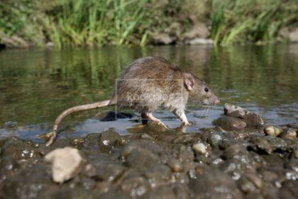 Campagne d'empoisonnement pour la destruction des Rats